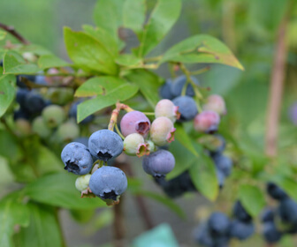 blueberry u-pick moncton blueberry bushes gift high low wild u-pick Moncton riverview Dieppe new Brunswick pickle planet