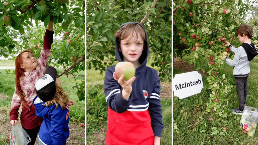 apple picking orchard u pick moncton