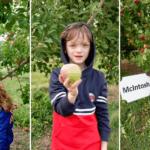 apple picking orchard u pick moncton
